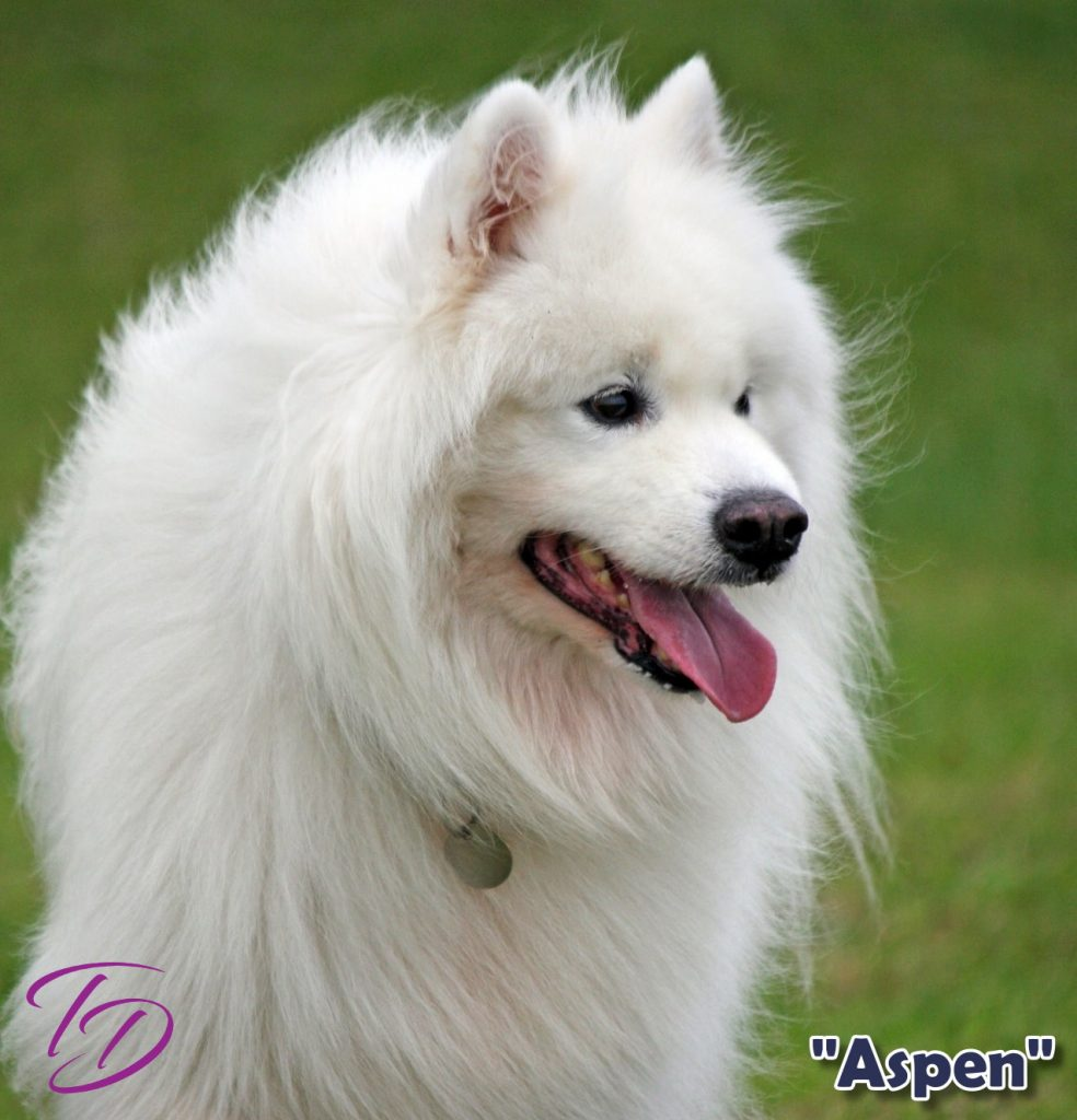Samoyed dog, Aspen, who time travels with Emma and Brody in the Crystal Cave Adventures.